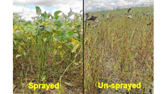 Soybean Rust infection in sprayed (left) and unsprayed (right) fields