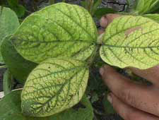 Soybean leaf exhibiting iron deficiency.
