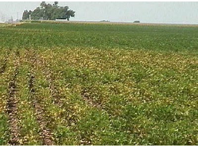 Two-spotted spider mite damage on edge of soybean field.