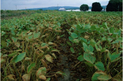 Severe spider mite injury to soybeans.
