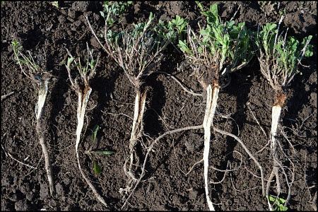 Alfalfa crowns split to observe plant health.
