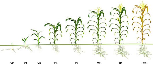 Corn Growth Stages.