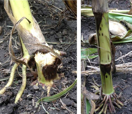 Breakage from Physoderma stalk rot and dark lesions on lower nodes of affected corn plants.