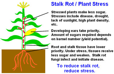 Stalk rot related to plant stress.