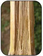 Photo: Fusarium stalk rot example.