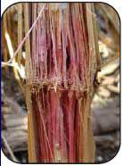 Photo: Gibberella stalk rot example.