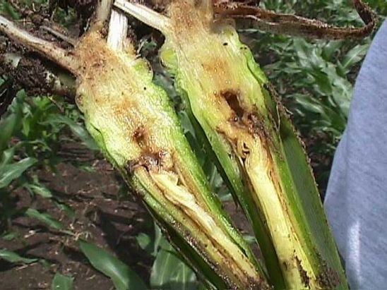 early season systemic wilt can cause internal vascular discoloration