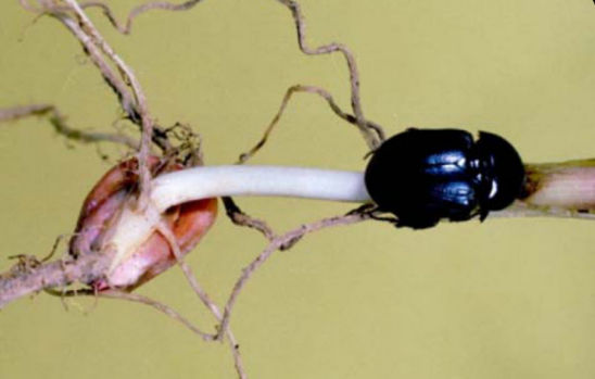 Sugarcane beetle feeding at base of corn seedling
