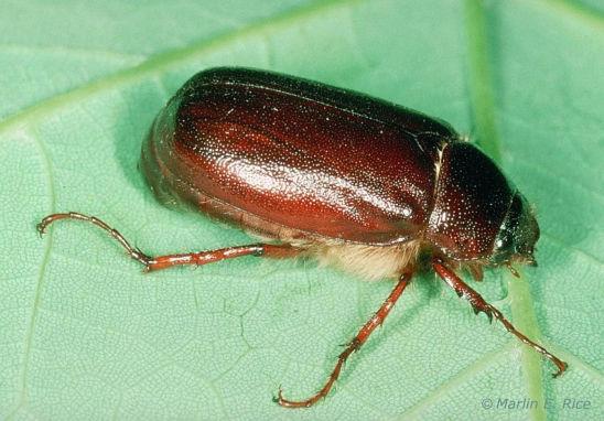 May or June beetle