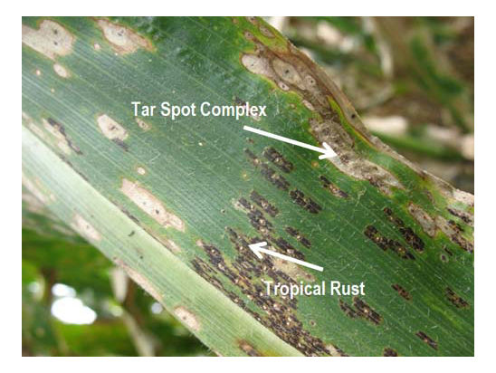 Tropical rust can appear in conjunction with tar spot complex.