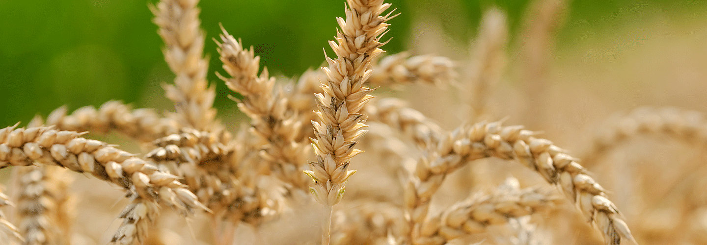 healthy wheat crop close up
