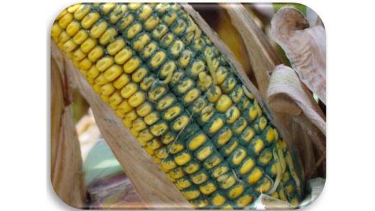 Corn cob damaged by Trichoderma ear rot.