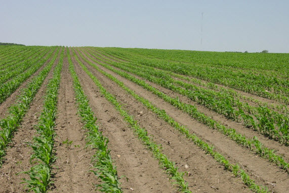Photo showing corn field with uneven emergence due to compaction.