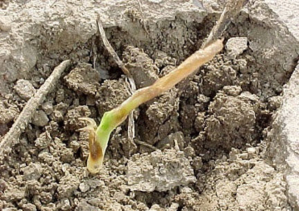 Soft translucent tissue near the growing point indicates that this corn plant will not recover from damage.