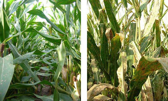 A hybrid susceptible to common rust treated with a fungicide compared to the same hybrid, non-treated, showing severe common rust.