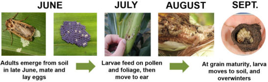 Western Bean Cutworm Annual Life Cycle in Corn