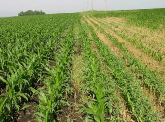 Corn field showing the effects of weed competition on corn growth.
