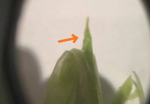 Photo showing a developing wheat head.