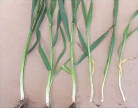 Photo showing wheat plants with varying stages of tiller development.