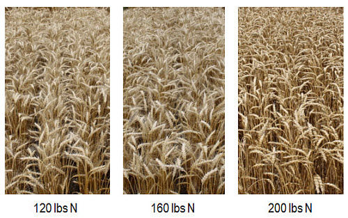 Wheat fields with Pioneer® variety 25R77 at 120, 160 and 200 lbs N/acre.