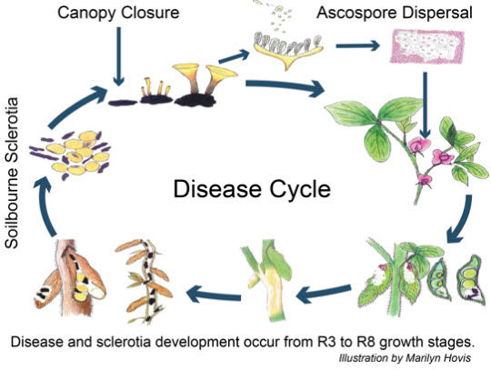 White mold disease cycle. Illustration by Marilyn Hovis.