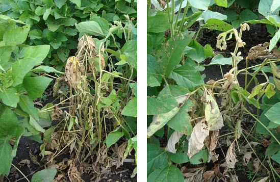 This is a photo showing soybean plants wilting among healthy plants due to Phytophthora.
