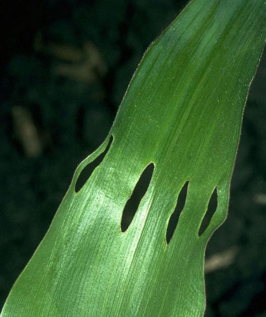 While feeding adult billbugs may make similar rows of holes in expanding corn leaves.