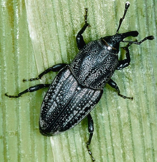 Adult billbugs feed on corn seedlings.