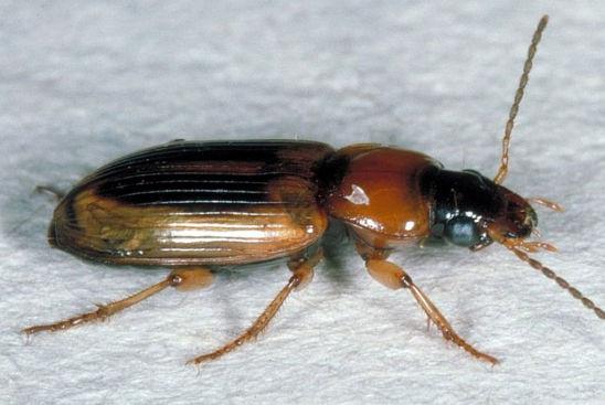 Seed corn beetle