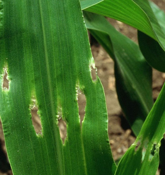 Corn leaf damage from stinkbugs