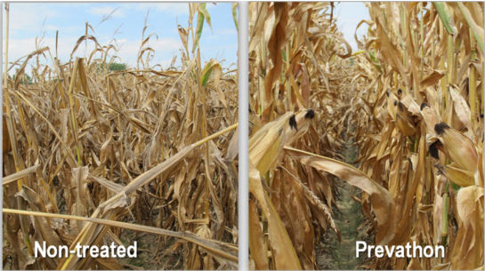 Photo: research trial comparisons at Wynne, AR.