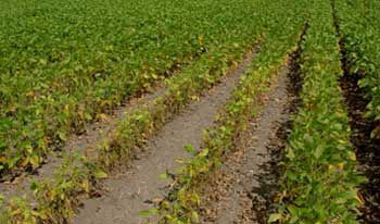 Severe SCN damage in drought-stressed field.