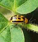 Soybean Leaf Beetle